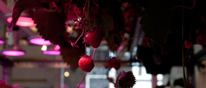 Aardbeien in de vertical farm in Amsterdam-IJburg. Onder LED-lampen, groeien ze in waterbakken op een oplossing van voedingsstoffen. Foto: Metfarm.