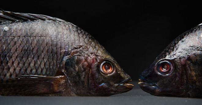 Gekweekte tilapia. Foto: Michiel Wijnbergh / Hollandse Hoogte