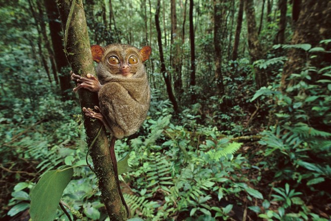 Spookdiertje, Borneo, 1991 © Frans Lanting / www.lanting.com