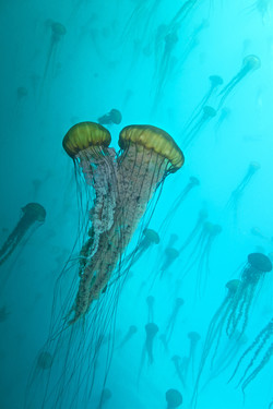 Sea nettles (Chrysaora fuscescens). Photo from Getty
