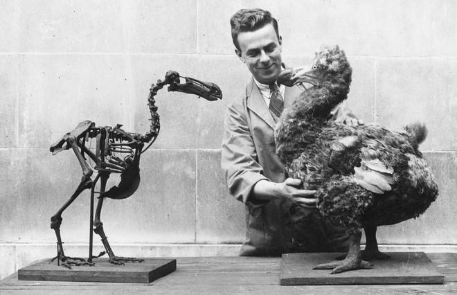 Het skelet van een dodo tegenover een dodoreconstructie in het National Museum of Wales, 1938. Foto: Becker / Getty Images