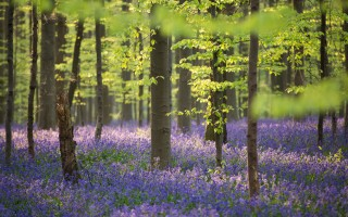 Hallerbos in april (foto Kenny De Boeck)