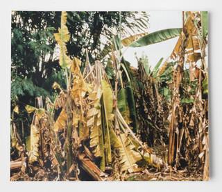 Een foto van een door schimmel verwoeste plantage. Foto uit het project 'project 'Fusarium – a tribute to the banana'. Foto: Eva Meijer