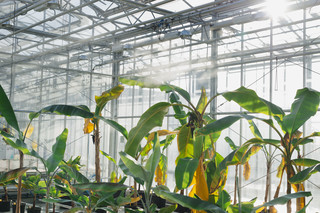 Plant Research International, een onderdeel van Wageningen Universiteit en Research Centrum. Foto uit het project 'Fusarium – a tribute to the banana'. Foto: Eva Meijer