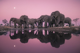 Elephants at Twilight, Botswana, 1989 © Frans Lanting