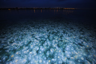 A moon jelly swarm in Denmark. Photo by Casper Tybjerg
