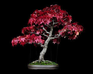 Untitled #8, The Bonsai Project: Typology. © Sjoerd Knibbeler en Rob Wetzer