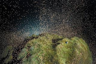 Kuitschietend koraal (Montastraea faveolata) bij de Kaaiman Eilanden. Foto: Hollandse Hoogte