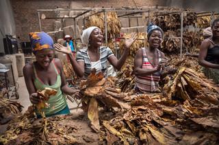 Landarbeiders oogsten, drogen en sorteren tabaksbladeren van een veld dat gehuurd wordt door de familie Forrester van een zwarte Zimbabwaanse eigenaar. Steeds meer blanke Zimbabwaanse boeren, die tijdens de landhervorming van president Mugabe vanaf 2000 van hun boerderij zijn verjaagd, komen terug en beginnen voorzichtig opnieuw commerciële landbouw te bedrijven. Maar nu niet meer als grootgrondbezitter, maar in samenwerking met de nieuwe eigenaren. Foto's: Sven Torfinn / HH