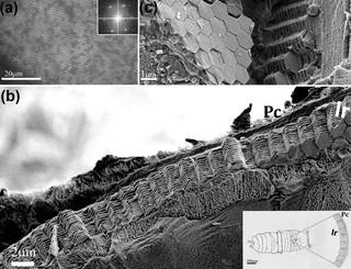 Zeshoekige kristallen van guanine in de opperhuidcellen van een mannelijke zeesaffier. (a) De hexagonale kristalrangschikking gezien onder een lichtmicroscoop. (b) Een dwarsdoorsnede onder de rasterelektronenmicroscoop. De afwisselende lagen kristal en cytoplasma zijn goed zichtbaar. (c) Een zijaanzicht van de lagen. Bron: doi: 10.1021/jacs.5b05289.