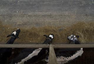 Melkkooien eten het krachtvoor dat Erik van Oosterhout heeft gemaakt. Uit het project SOY van Annette Behrens.