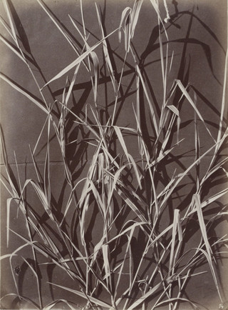 Studie met langwerpige bladeren, ca1875. Foto: Charles Aubry / Rijksmuseum