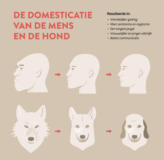 Bron voor deze afbeelding: Brian Hare, 'Survival of the Friendliest: Homo sapiens Evolved via Selection for Prosociality', Annual Review of Psychology (2017).