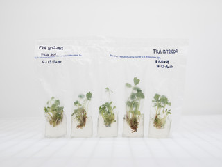 Kweekmonsters van de aardbeienplant,USDA National Clonal Germplasm Repository: Small Fruit and Specialty Crops, Oregon 2016. Foto: Lucas Foglia
