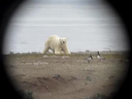 Stills uit een video van een ijsbeer op zoek naar eieren, gemaakt door Jouke Prop tijdens een van zijn reizen naar Spitsbergen.