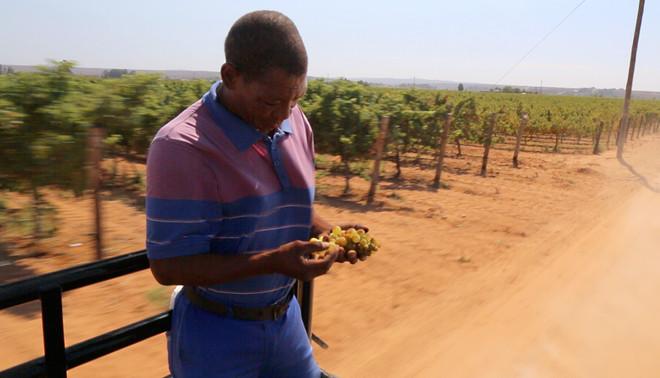 Een farmworker van Stellar Organic Winery eet druiven onderweg naar het veld. Het beeld bij dit verhaal is van Emma Lesuis en Stefan Môhl.