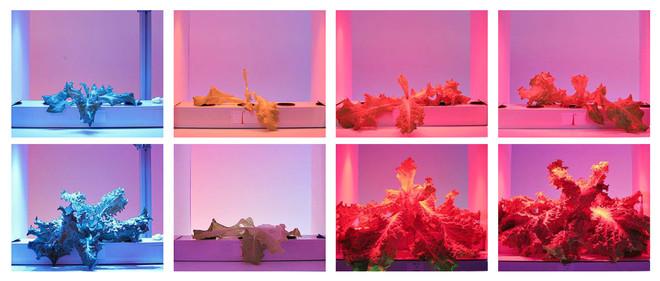 In een onderzoek van PARUS is gekeken naar het effect van verschillende golflengten en kleuren ledlicht op de groei van sla. De afbeelding hierboven is een klein onderdeel uit het onderzoek naar enkele golflengten, met van links naar rechts 475 nm, 600 nm, 630 nm en 660 nm. De bovenste rij is na zeven dagen en de onderste rij na 21 dagen. Beelden: PARUS