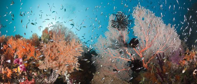 Gezond koraalrif, Raja Ampat, West Papua, Indonesië. Foto: Getty Images