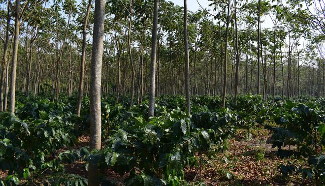 Op een plantage in Bolivia zijn tussen de koffieplanten tejeyeque-bomen geplant, die zo voor de nodige schaduw zorgen en bovendien door houtproductie een duurzame inkomstenbron vormen. Foto: Bart Crezee (voor De Correspondent)