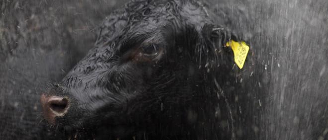 Koeien worden schoongespoten in een slachthuis in San Fernando, Argentinië. Foto: Redux / Hollandse Hoogte