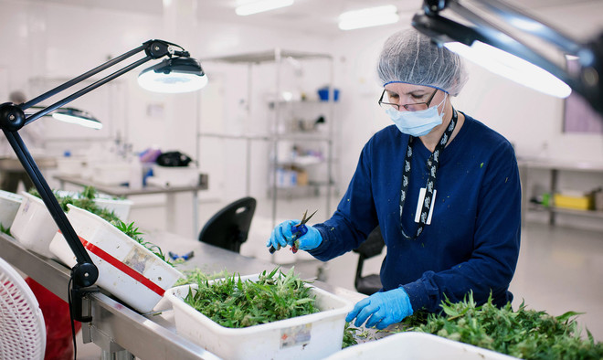 Een medewerker knipt medicinale wiet in het laboratorium van Tweed Inc in Canada. Foto: James MacDonald / Bloomberg via Getty Images