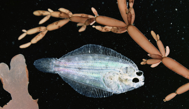 Een jonge platvis. Foto: Nature Picture Library / HH