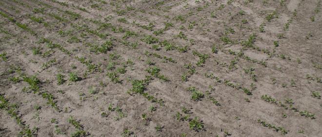Het veld met soja van boer en kaasmaker Erik van Oosterhout uit het Brabantse Made. Uit het project SOY van Annette Behrens