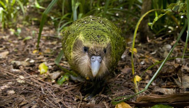 Kakapo Sirocco op Stewart Island in het zuiden van Nieuw-Zeeland. Foto: Mark Carwardine