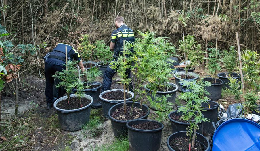 Na een anonieme tip, heeft de politie in Soest een wietkwekerij in de bossen achter het oude ziekenhuis Zonnegloren, aan de Soesterbergsestraat opgerold. Er stonden twintig plastic bloembakken met vijftien wietplanten. Foto: Caspar Huurdeman Baarn / HH