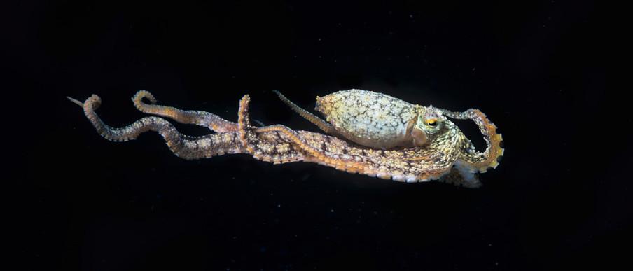 Inktvissen zijn naast kameleons ook briljante acteurs. De 'mimic'-octopus doet zeeslangen, platvissen, koraalduivels, kwallen en anemonen na. Foto: Jeffrey Rotman / Getty