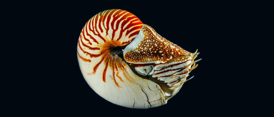 De nautilus geeft een uniek inkijkje in de antieke inktviswereld. Foto: Getty