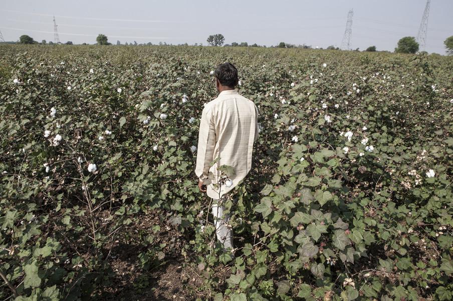 Een boer bekijkt zijn katoenplanten in Tiwasa, Maharashtra, India. Uit de serie 'Graves of Cotton' door Fernando Del Berro.