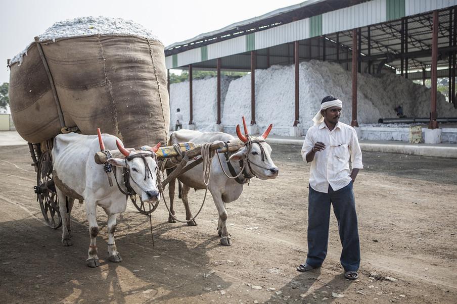 Een katoenboer brengt zijn katoen naar de Yavatmal Cotton Factory voor het verwerken distribueren. Uit de serie 'Graves of Cotton' door Fernando Del Berro