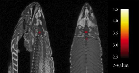 De fMRI-scan van de dode zalm.