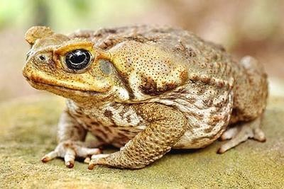 De Zuid-Amerikaanse reuzenpad