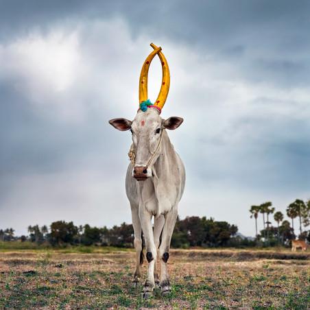 Mattu Pongal 28 (Kanakkandal district, Tamil Nadu, India, 2014). Uit de serie 'Sightings of the Sacred' © Daniel Naudé / Courtesy of Stevenson