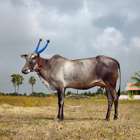 Mattu Pongal 10 (Nedungavadi, Thandrampet, Tamil Nadu, India, 2014). Uit de serie 'Sightings of the Sacred' © Daniel Naudé / Courtesy of Stevenson