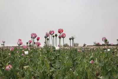 Een papaverveld in Marjah, in de provincie Helmand.