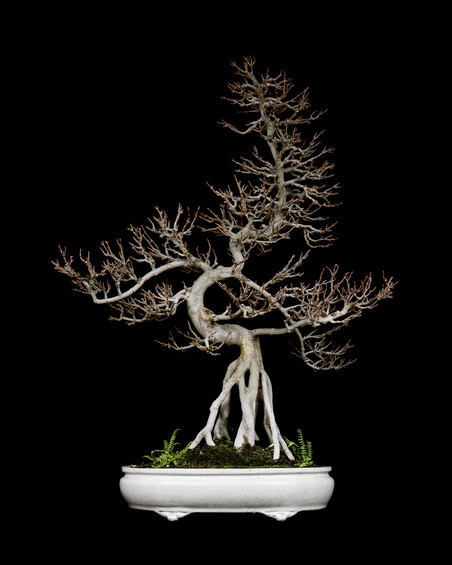Untitled #2, The Bonsai Project: Typology. © Sjoerd Knibbeler en Rob Wetzer