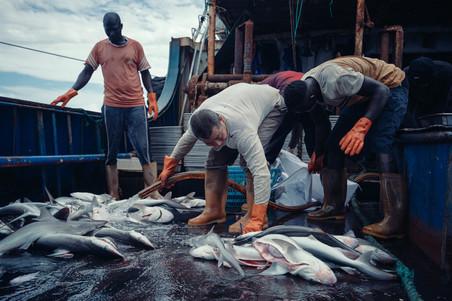 Net gevangen haaien worden schoongemaakt. Foto: Liu Yuyang / Greenpeace