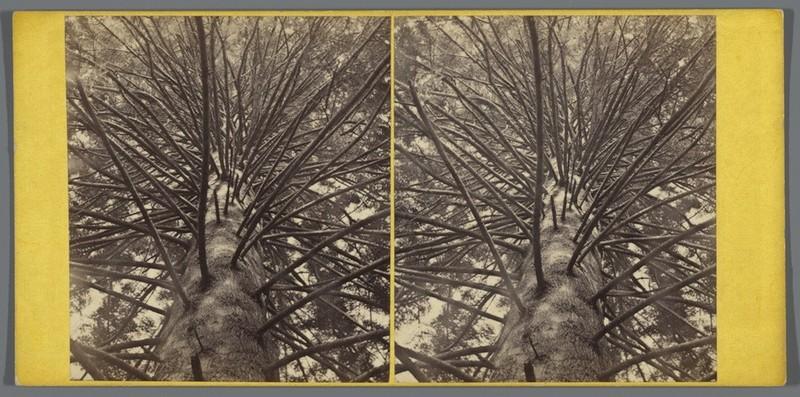 Stereofoto. Zilverspar in Dunkeld, George Washington Wilson, ca. 1858 - ca. 1872. Bron: Rijksmuseum.