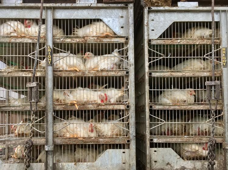 Kippen wachtend op de slacht bij de Tysonfabriek in Noel. Foto: Arjen van Veelen