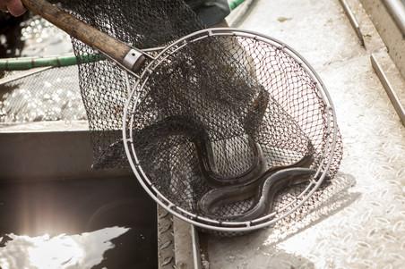 Zó uit de Havel, Mario Weber laat de paling in zijn fuik zien. Foto: Florian Buettner