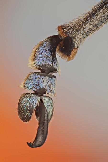 Een pootje van een snuitkever. Foto: Javier Torrent / Getty Images